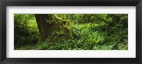 Framed Ferns and vines along a tree with moss on it, Hoh Rainforest, Olympic National Forest, Washington State, USA