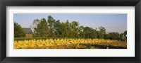 Framed Tractor in a tobacco field, Winchester, Kentucky, USA