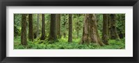 Framed Trees in a rainforest, Hoh Rainforest, Olympic National Park, Washington State, USA