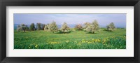 Framed Peartrees Fields Aargau Switzerland
