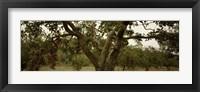 Framed Apple trees in an orchard, Sebastopol, Sonoma County, California, USA