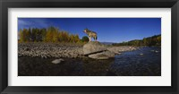 Framed Wolf standing on a rock at the riverbank, US Glacier National Park, Montana, USA