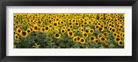 Framed Sunflowers (Helianthus annuus) in a field, Bouches-Du-Rhone, Provence, France