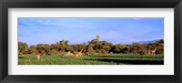 Framed Giraffes in a field, Moremi Wildlife Reserve, Botswana, South Africa