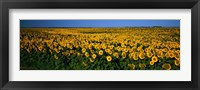 Framed Field of Sunflowers ND USA