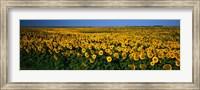 Framed Field of Sunflowers ND USA
