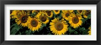 Framed Sunflowers ND USA