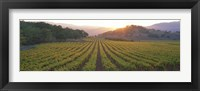 Framed Sunset, Vineyard, Napa Valley, California, USA