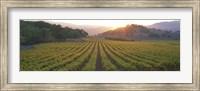 Framed Sunset, Vineyard, Napa Valley, California, USA