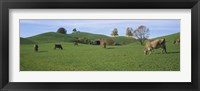 Framed Cows grazing on a field, Canton Of Zug, Switzerland
