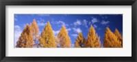 Framed Lark Trees, Switzerland