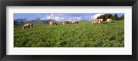 Framed Switzerland, Cows grazing in the field