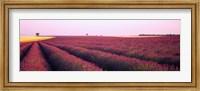 Framed Lavender crop on a landscape, France