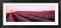 Framed Lavender crop on a landscape, France