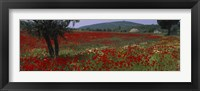 Framed Red poppies in a field, Turkey