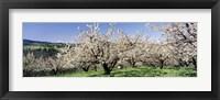 Framed Cherry Orchard, Oregon, USA