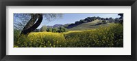 Framed Mustard Flowers Blooming In A Field, Napa Valley, California