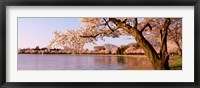 Framed Cherry blossom tree along a lake, Potomac Park, Washington DC, USA
