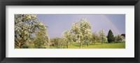Framed Pear trees in a field (Pyrus communis), Aargau, Switzerland