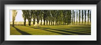 Framed Poplar Trees Near A Wheat Field, Twin Falls, Idaho, USA