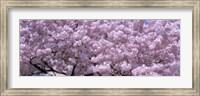 Framed USA, Washington DC, Close-up of cherry blossoms