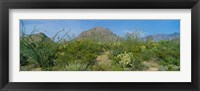 Framed Ocotillo Plants In A Park, Big Bend National Park, Texas, USA