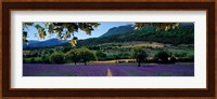 Framed Mountain behind a lavender field, Provence, France