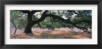 Framed Oak tree on a field, Sonoma County, California, USA