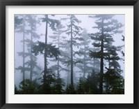 Framed Silhouette of trees with fog, Douglas Fir, Hemlock Tree, Olympic Mountains, Olympic National Park, Washington State, USA