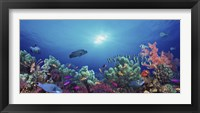 Framed School of fish swimming near a reef, Indo-Pacific Ocean