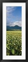 Framed Taro crop in a field, Hanalei Valley, Kauai, Hawaii, USA