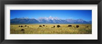 Framed Field of Bison with mountains in background, Grand Teton National Park, Wyoming, USA