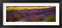 Framed Lavender and Yellow Flower fields, Sequim, Washington, USA