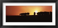 Framed Silhouette of cows at sunset, Point Reyes National Seashore, California, USA