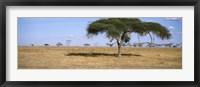 Framed Acacia trees with weaver bird nests, Antelope and Zebras, Serengeti National Park, Tanzania