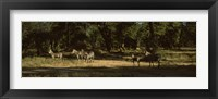 Framed Herd of zebras in a forest, Hwange National Park, Matabeleland North, Zimbabwe