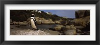 Framed Colony of Jackass penguins on the beach, Boulder Beach, Cape Town, Western Cape Province, Republic of South Africa