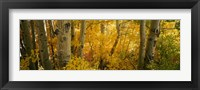 Framed Aspen trees in a forest, Californian Sierra Nevada, California, USA