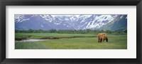 Framed Grizzly bear grazing in a field, Kukak Bay, Katmai National Park, Alaska