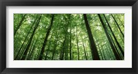 Framed Low angle view of beech trees, Baden-Wurttemberg, Germany