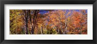Framed Trees in autumn, Vermont, USA