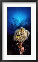 Framed Sea anemone and Allard's anemonefish (Amphiprion allardi) in the ocean