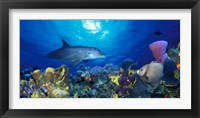 Framed Bottle-Nosed dolphin (Tursiops truncatus) and Gray angelfish (Pomacanthus arcuatus) on coral reef in the sea