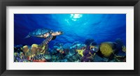 Framed Hawksbill turtle (Eretmochelys Imbricata) and French angelfish (Pomacanthus paru) with Stoplight Parrotfish (Sparisoma viride)