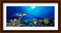 Framed Hawksbill turtle (Eretmochelys Imbricata) and French angelfish (Pomacanthus paru) with Stoplight Parrotfish (Sparisoma viride)