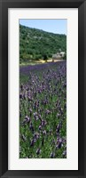 Framed Lavender crop with a monastery in the background, Abbaye De Senanque, Provence-Alpes-Cote d'Azur, France