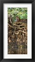 Framed Jaguar resting at the riverside, Three Brothers River, Meeting of the Waters State Park, Pantanal Wetlands, Brazil