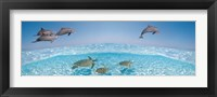 Framed Bottlenose Dolphin Jumping While Turtles Swimming Under Water