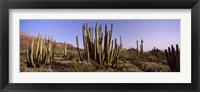 Framed Organ Pipe Cacti on a Landscape, Organ Pipe Cactus National Monument, Arizona, USA