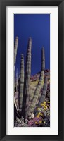 Framed Close up of Organ Pipe cactus, Arizona